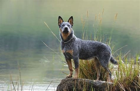Do Blue Heelers Shed by What Do Blue Heeler Dogs Look Like Dogs Pets