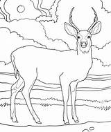 Deer Coloring Pages Print Printable Bestcoloringpagesforkids sketch template