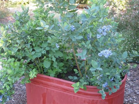 blueberry bush in pot a quick 8 steps to growing blueberries in a container now gardenaware com