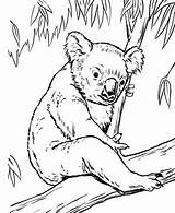 Koala Coloring Ausmalbilder Bear Tree Zum Animals Eucalyptus Malvorlagen Animaux Konabeun Drawing Ausmalen Coloriage Printable Drucken Ausdrucken Coloriages Kostenlos Album sketch template