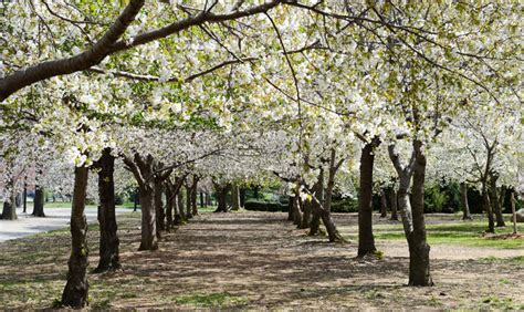 spring blooms  nyc parks nyc parks