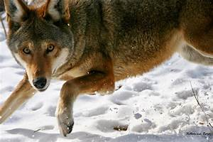RETURN OF THE RED WOLF: RWSSP site of the month--Wolf ...