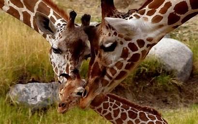 Giraffe Animal Background