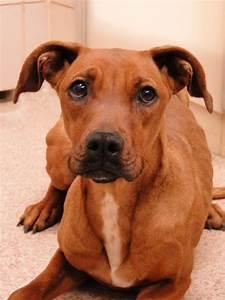 Best 25+ Boxer Rottweiler Mix ideas on Pinterest | Dog ...