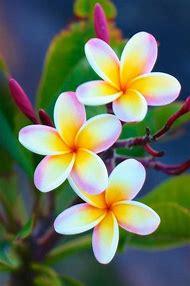 Hawaiian Flower Plumeria