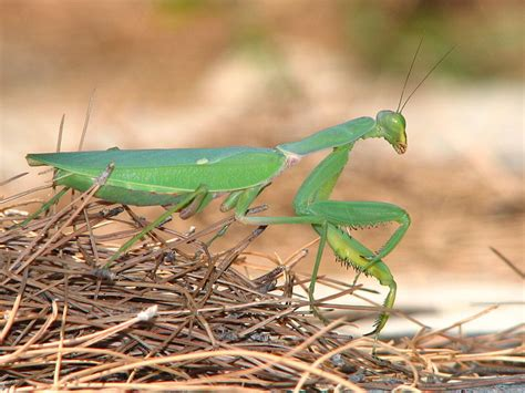 Praying Mantis, Aliens And Grasshoppers  Liberal Sprinkles