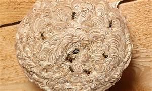 Se Débarrasser Des Guepes : 7 conseils pour se d barrasser d 39 un nid de gu pes en toute ~ Melissatoandfro.com Idées de Décoration