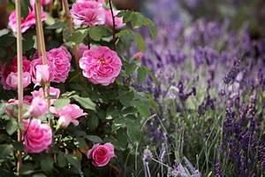 Rosen Und Lavendel : rosen lavendel stauden in den baumschulen sp th in berlin ~ Yasmunasinghe.com Haus und Dekorationen