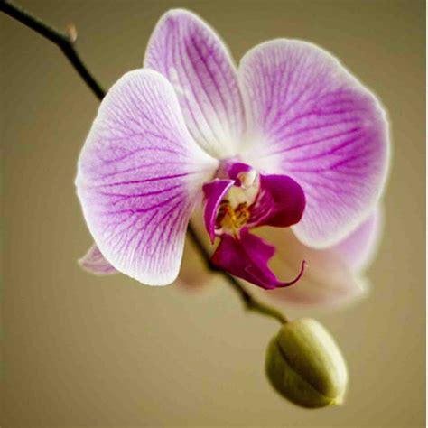 fiore della bellezza orchidea silviadeifiori