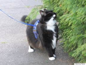 walking a cat how to walk your cat on a leash and why you should huffpost