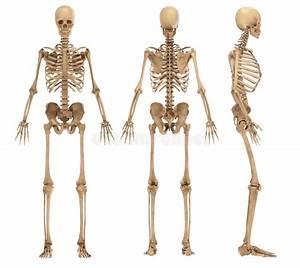 Male Anatomy View Stock Illustration  Illustration Of