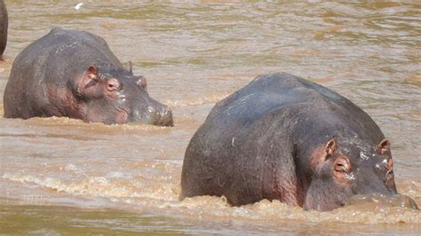 siege hippopotamus wondrous wildlife sightings in uganda safaris