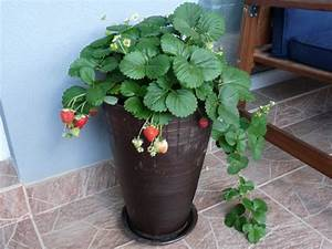 Erdbeeren Pflege Balkon : erdbeeren pflege erdbeeren pflanzen pflege und ernte ~ Lizthompson.info Haus und Dekorationen
