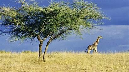 Africa Wallpapers Giraffe Resolution Serengeti Selva Screen