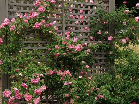 pictures of climbing roses miss gingham climbing roses