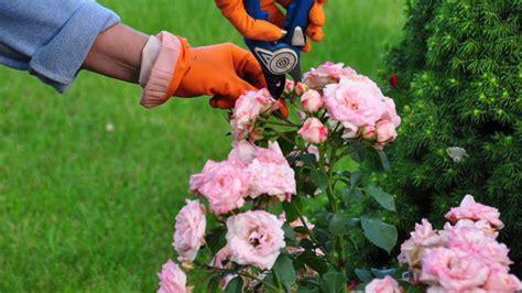 Bodendeckerrosen Pflanzen Und Schneiden