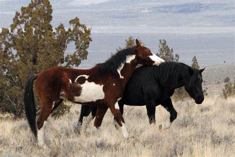 horses oregon mountain steens hma mustang feral south wild mustangs pferde ddz pferderassen welt