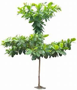 Tropical Plant Pictures: Terminalia Catappa ( Indian Almond )