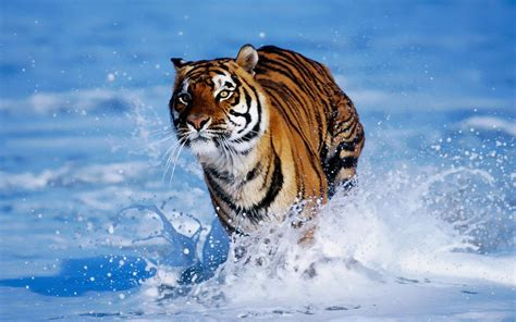 Running Tiger Wallpaper Wild Animal Wallpapers