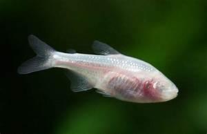 Blind Cave Tetra Tropical Fish East Road Pets Ltd