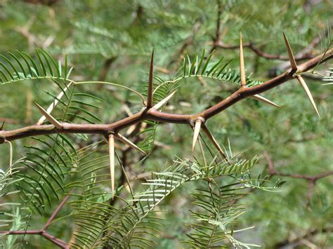 20090614 Mesquite Tree Thorns This Mesquite Tree Has The