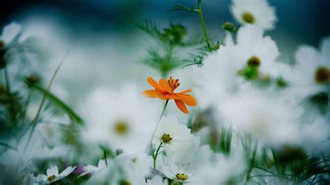 Wallpaper Flowers, 4k, HD wallpaper, 8k, daisies, cosmos ...
