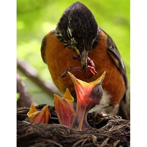 feed  baby bird  fell    nest