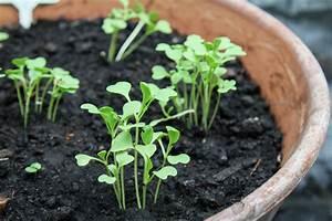 Pak Choi Anbau : asia salate anbauen aussaat pflege im garten majas pflanzenwelt ~ Eleganceandgraceweddings.com Haus und Dekorationen