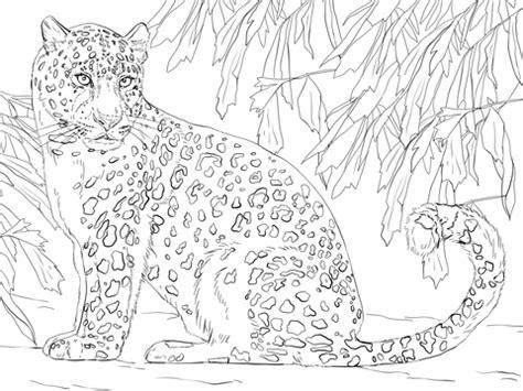 amur leopard coloring page  printable coloring pages