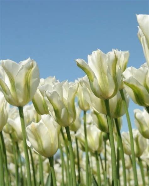 wholesale flower bulbs potted bulbs perennials lilies