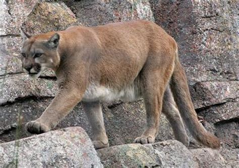 testing confirms mountain lion sighting  oregon county