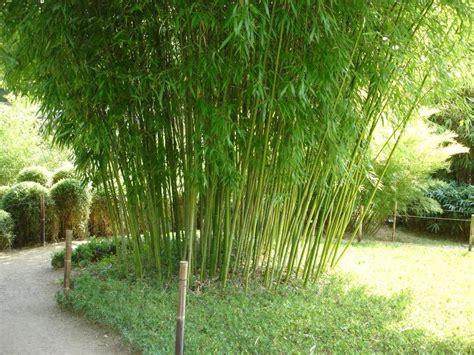 Bambus Garten Pflanzen Kölle by Gr 252 Ner Pulver Bambus Phyllostachys Viridiglaucescens
