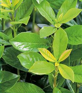 Kirschlorbeer Wann Pflanzen : kirschlorbeer pflanzen abstand kirschlorbeer pflanzen ~ Lizthompson.info Haus und Dekorationen