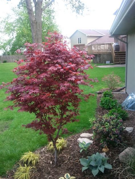 small trees for japanese garden 54 best japanese maples landscaping images on pinterest beautiful garden and gardening