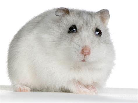 photos hamster hamster 1761 wamiz