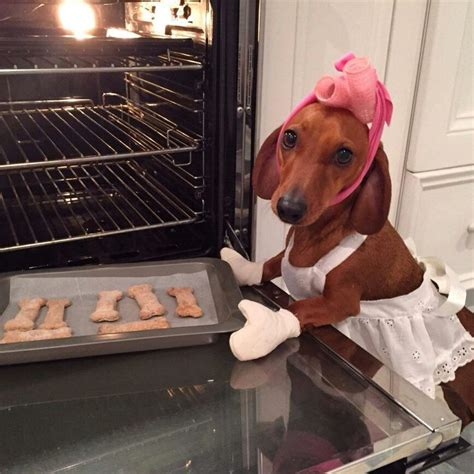 dachshund baking cookies hair curlers oven mitts apron     dachshund persuasion