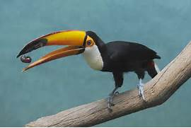 Baby Toco Toucan Giftas this toucan makes  Baby Toco Toucans
