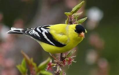 Birds Goldfinch American Bird Backgrounds Wallpapers Chardonneret
