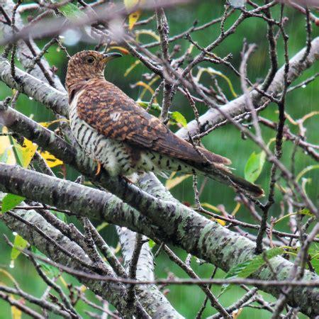 パハロの野鳥写真 ツツドリ赤色型 (野田市)