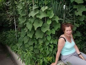 chayotte christophine chayote conseil jardinage With jardin a la francaise photo 7 chayotte christophine ou chouchou legume plantation