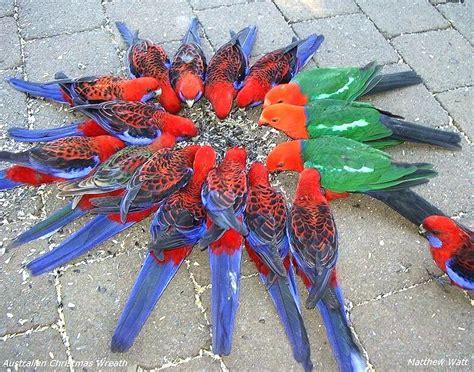 australian christmas wreath a photo from queensland east