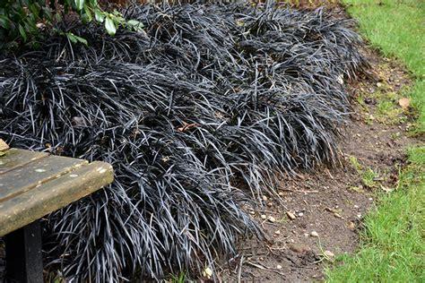 black mondo grass ophiopogon planiscapus nigrescens