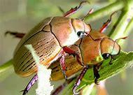 Scarab Beetle Life Cycle