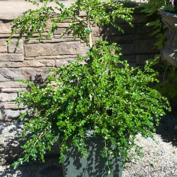 Buxus sempervirens 'Unraveled' American Boxwood from