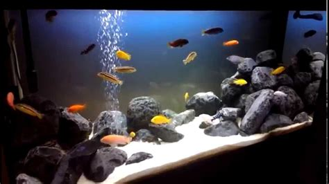 aquarium on 350 litres from the cichlidae lake of malawi