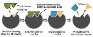 Enzymes And The Active Site