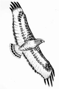 Drawn Hawk Flight Drawing Pencil And In Color Drawn Hawk