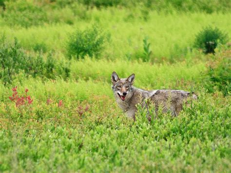coyote wolf hybrids  spread   east