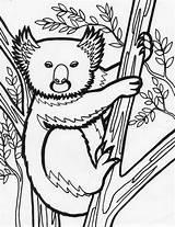 Koala Bear Pages Coloring Animal Sheet Coloriing Popular sketch template