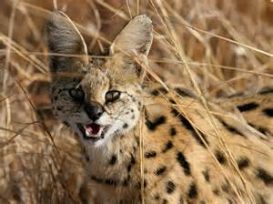 serval cat for panoramio photo of serval cat